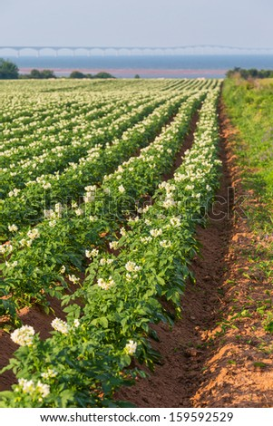 A field in rural Prince Edward Island, Canada of potato plants in full flower.  The Confederation Bridge is in the distant horizon. - stock photo