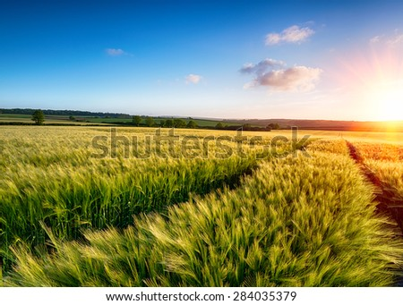 A field of barley ripening in the sun - stock photo