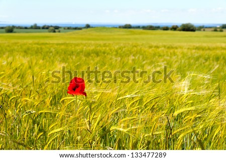 A field of barley with a single corn poppy in late summer. langeland, Denmark - stock photo