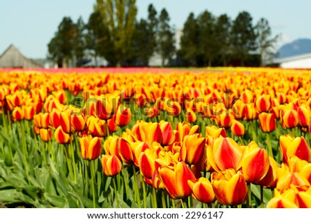A field of beautiful and colorful orange tulips
