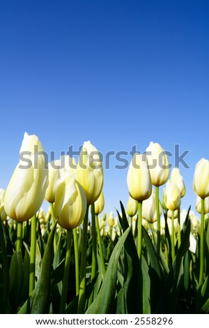 A field of beautiful white and yellow tulips - stock photo