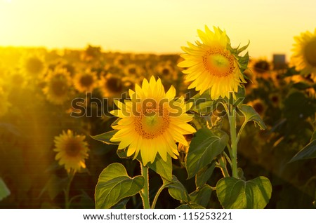 a field of blooming sunflowers against a colorful sky - stock photo