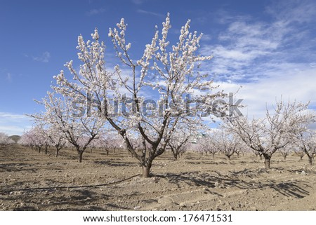 a field of blossoming almond trees in full bloom - stock photo