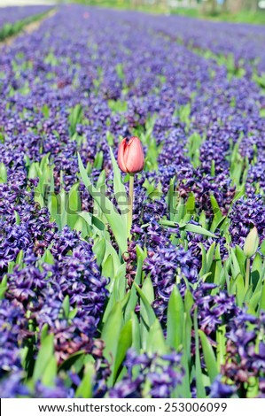 A field of blue hyacinth and red tulip in Holland. Shallow depth of field. Focus on the foreground - stock photo