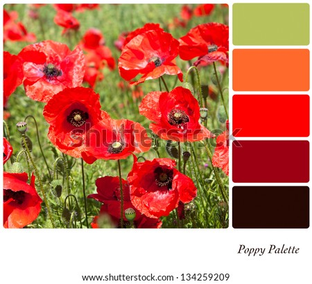 A field of bright red flowering poppies in a colour palette with complimentary colour swatches. - stock photo