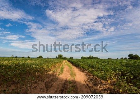 a field of cassava plant in Thailand