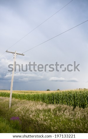 A field of corn and flowers next to a telephone pole.