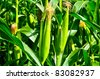 A field of corn in Thailand - stock photo