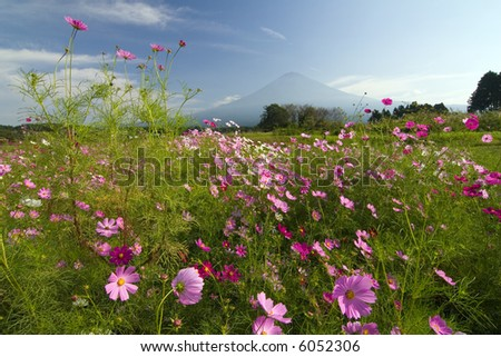 A field of cosmos with Mount Fuji in the background.