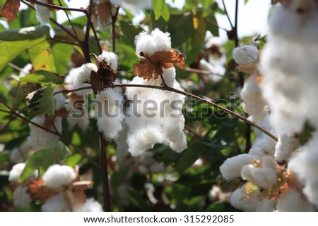 A field of cotton - stock photo