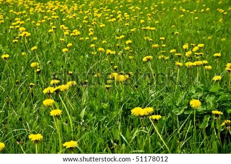 a field of dandelions - stock photo