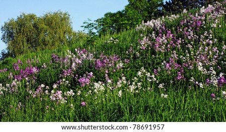 a field of fire weeds on a hill - stock photo