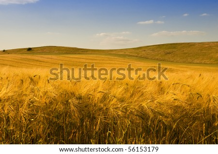 A field of golden barley in the late afternoon. - stock photo