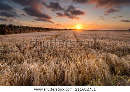 A field of golden ripe barley in the Cornish countryside near Padstow - stock photo
