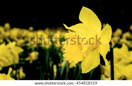 A field of golden yellow daffodils in springtime - stock photo