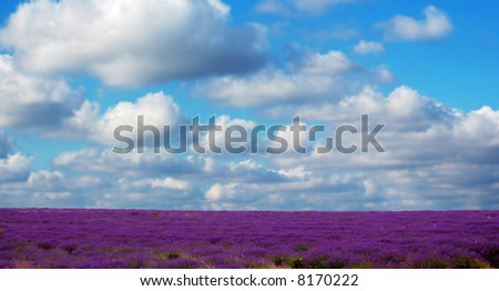 a field of lavender with sky in background - stock photo