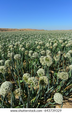 A field of leeks with seed heads are grown on this Central California farm.