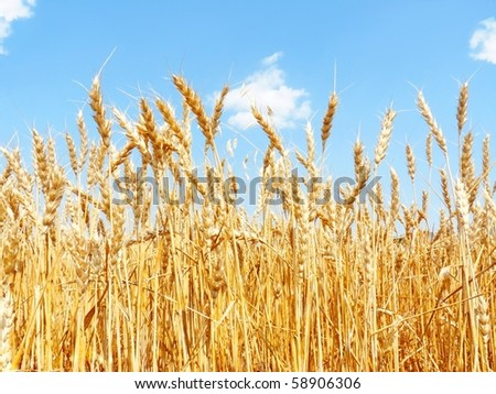 A field of mature wheat. - stock photo