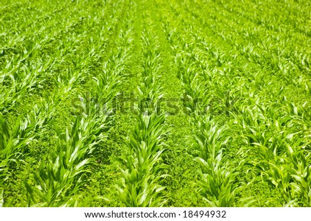 A field of newly planted sweet corn