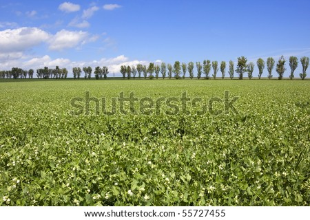 a field of peas flowering against a background of poplar trees and blue sky - stock photo