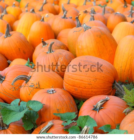 A field of picked pumpkins - stock photo