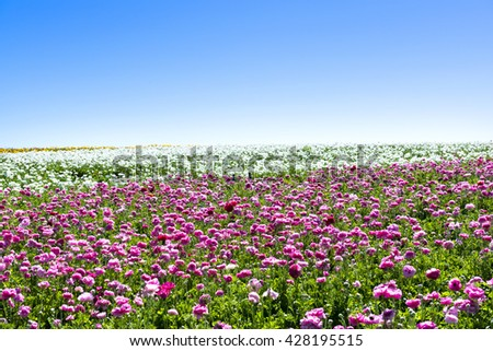 A field of pink and white blooming buttercup flowers during a bright, sunny day shows the beauty of the blooms in springtime - stock photo