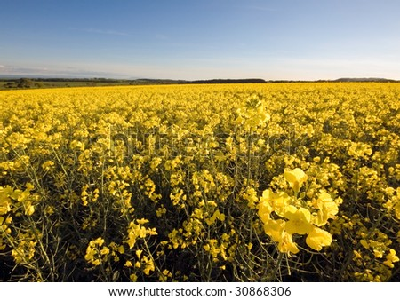 A field of rapeseed on a hill with blue sky in the background. Photo taken in Fife, Scotland. - stock photo