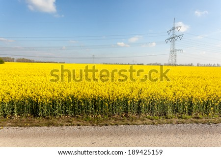 a field of rapeseed plants where there are between different high voltage poles