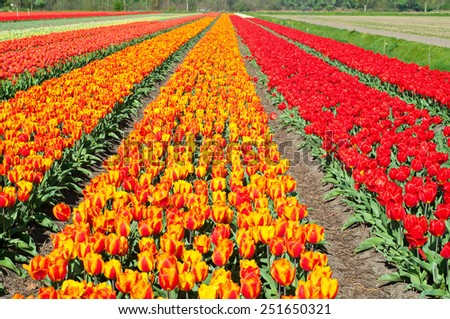 A field of red and striped tulips in Holland