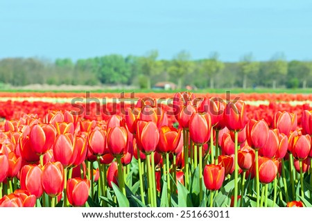 A field of red and striped tulips in Holland. Shallow depth of field. Focus on the foreground