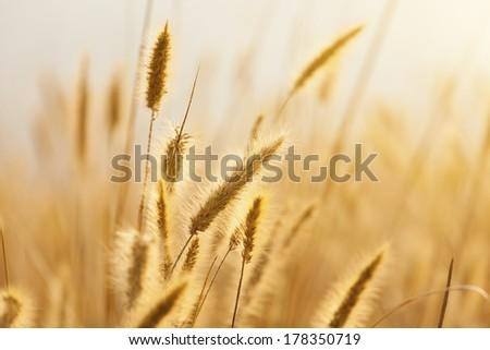 A field of ripe rye against the rising sun