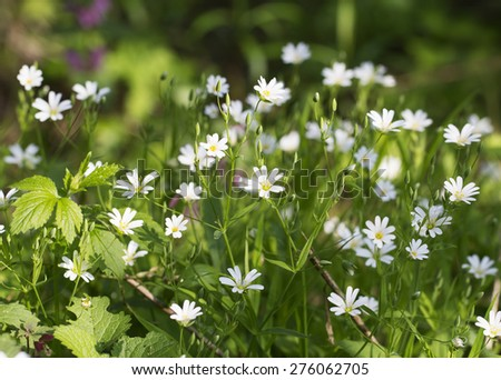 A field of stellaria media flowers in the forest - stock photo