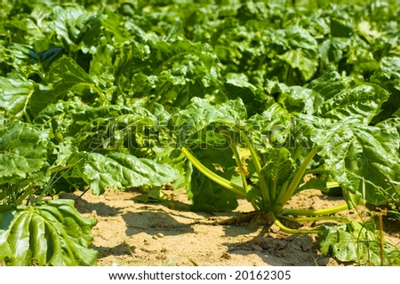 A field of sugar beets