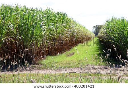 A field of sugar cane in queensland, australia