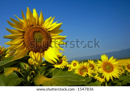 A field of sunflowers. Focus on the flower to the left, with a honeybee on it (a gleam in its eye) and space for text in the sky to the right. A distant mountain range can be seen beyond the flowers. - stock photo