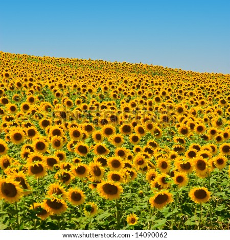 A field of sunflowers, in the south of France. - stock photo