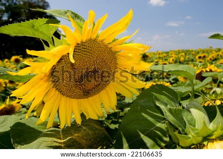 A field of sunflowers stretching to the horizon. - stock photo