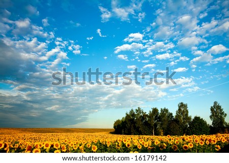 A field of sunflowers under sky with clouds