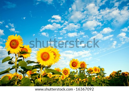 A field of sunflowers under sky with clouds - stock photo