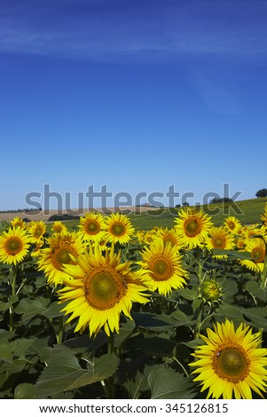 A field of sunflowers under the tuscan sun with blue sky