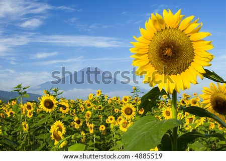 A field of sunflowers with Mount Fuji in the background - stock photo