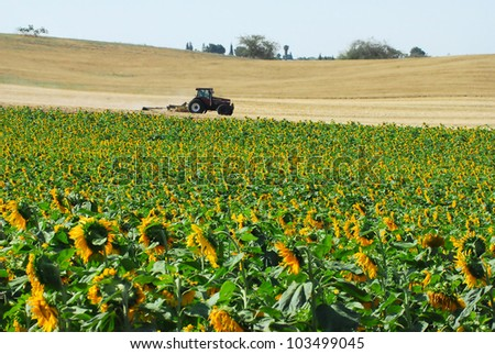 A field of sunflowers wtih and agricultural tractor in the background