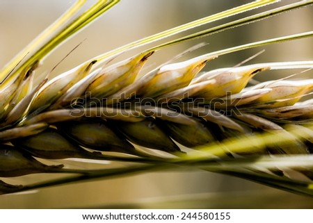 a field of wheat  - stock photo