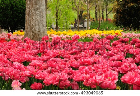 A field of yellow and pink tulips blooming around a tree within a garden at the Shanghai Flower Port in China.