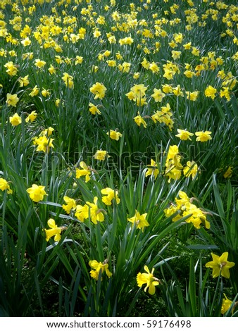 A field of Yellow Daffodils in London - stock photo