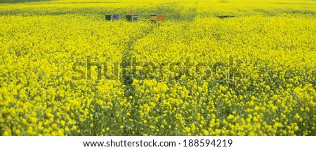 a field of yellow flowers and some beehives - stock photo