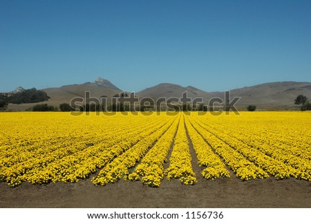 A field of yellow flowers under a blue California sky. - stock photo