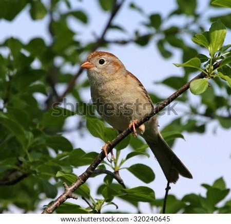 A Field sparrow (Spizella pusilla) sitting in a tree.Cambridge, Ontario, Canada.  - stock photo