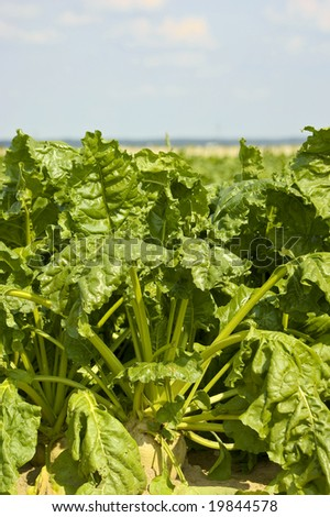 A field sugar beets