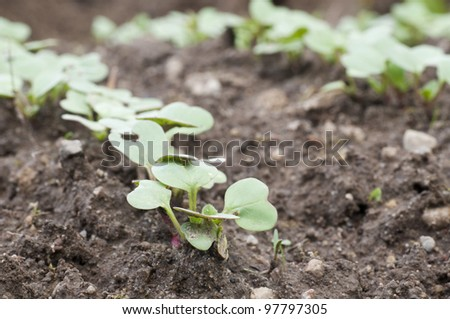 a field with radish sprouts - stock photo